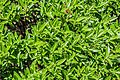 Veronica truncatula in Christchurch Botanic Gardens 03.jpg
