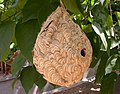Vespa affinis nest.jpg