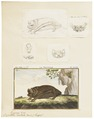 Vespertilio noctula - 1700-1880 - Print - Iconographia Zoologica - Special Collections University of Amsterdam - UBA01 IZ20800147.tif