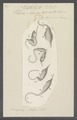 Vibrio anser - - Print - Iconographia Zoologica - Special Collections University of Amsterdam - UBAINV0274 113 11 0002.tif