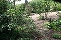 Viburnum carlesii Aurora 1zz.jpg
