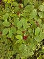 Viburnum lantana, familija Sambucaceae 01.jpg