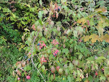 Viburnum lentago SCA-04780.jpg