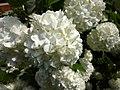 Viburnum opulus roseum.jpg