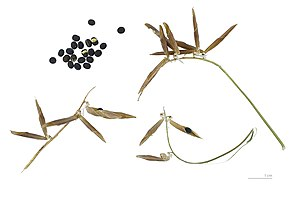 Vicia cracca - Legumes and seeds