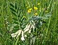 Vicia pannonica2 W.jpg