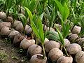 Vietnam 08 - 142 - baby coconut trees (3185934892).jpg