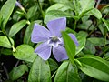 Vinca minor (common periwinkle)- invasive plant sold in stores.jpg