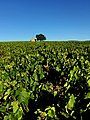 Vineyard, UNESCO Global Geopark Beaujolais.jpg