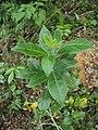 Vitex trifolia 02.JPG