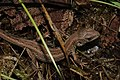 Viviparous lizard (Zootoca vivipara) (35589524593).jpg