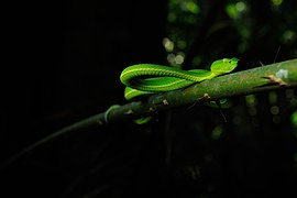 Vogel's Pit Viper, Viridovipera vogeli in Khao Yai national park - Flickr - tontantravel.jpg