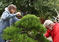 Volunteers at work on a Japanese Black Pine bonsai at the GSBF-CN, September 12, 2008.jpg