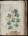 Voynich Manuscript (71).jpg