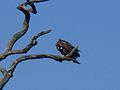 Vulture at rest on the dry branches of the tree.jpg