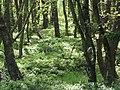 Wald@Wietzendorfer Moor20180524.JPG