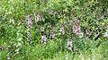 Waldrandzone mit Weißem Diptam.jpg