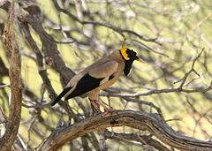 Wattled Starling 2.jpg