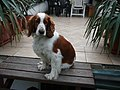 Welsh Springer Spaniel, Pozlovice.jpg