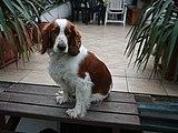 Welsh Springer Spaniel, Pozlovice.jpg