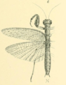 Werner 1907 Orthoptera Blattaeformia Taf III Fig 6.png