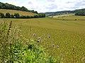 Wheat, Radnage - geograph.org.uk - 892074.jpg