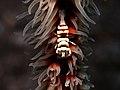 Whip coral shrimp (14206909487).jpg