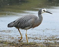 White-faced Heron.jpg