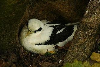 White-tailed tropicbird - Image: White tailed Tropicbird Phaeton lepturus