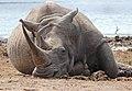 White Rhino (Ceratotherium simum) (32457172176).jpg