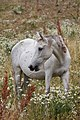 White horse in Almaty mountains in Kazakhstan.jpg