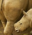 White rhinoceros (13945584782).jpg