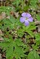 Wild Geranium (34058276253).jpg