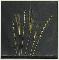 Wild flowers of Palestine. Tares and wheat (Lol. tem. L., Triticuum vulgare Vill) LOC matpc.15031.jpg