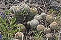 WildflowerCtr hedgehogCactus.jpg