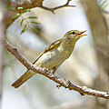 Willow warbler, Phylloscopus trochilus, at Marakele National Park, Limpopo, South Africa (32788378908).jpg