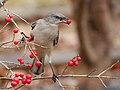 Winter berries (8381684421).jpg