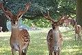 WoburnAbbey Deer01.JPG