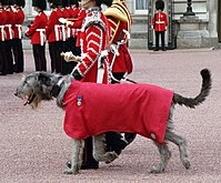 Irish Guards mascot in parade dress