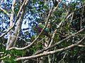 Wompoo Fruit-Dove - Flickr - GregTheBusker.jpg