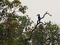 Wreathed Hornbill IMG 5504 01.jpg