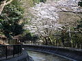 Yamasina Lake Biwa Canal and Cherry Blossom Viewing (3).JPG