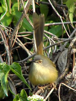 Yellow-bellied Prinia.jpg