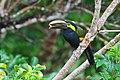 Yellow-eared-toucanet.jpg