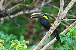 Yellow-eared-toucanet.jpg