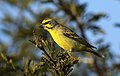 Yellow-fronted canary, Crithagra mozambicus, at Pilanesberg National Park, Northwest Province, South Africa (28486709905).jpg