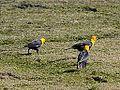 Yellow Headed Blackbirds (7419849590).jpg