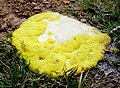 Yellow slime mold.jpg
