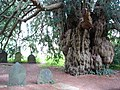 Yew Tree in Dartington Hall Gardens - geograph.org.uk - 312595.jpg