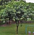 Young Tree I IMG 9790.jpg